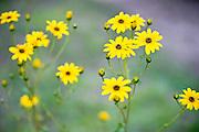 Woodland Sunflowers at DeHart Botanical Gardens in Louisburg, NC.