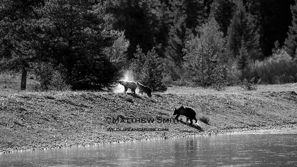Grizzly Bear shakes off the water after crossing the Snake River