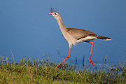 The red-legged seriema explores the lake front in the southern Pantanal.