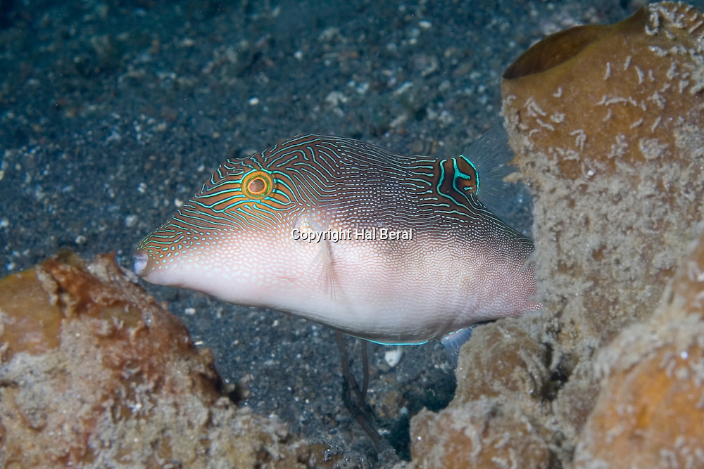 Papuan Toby peaks out from behind a sponge.(Canthigaster papua).Lembeh Straits, Indonesia..