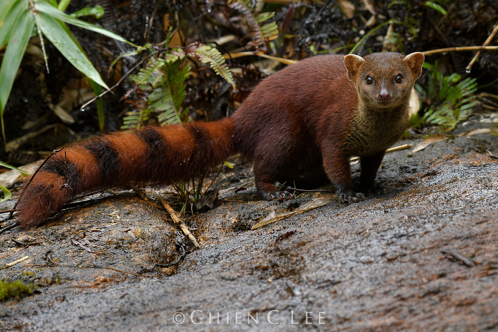 Weighing in at less than 1kg, the Ring-tailed Mongoose (Galidia elegans) is a quick and agile predator, feeding on a wide range of small animals and insects. Together with all of Madagascar's endemic carnivores (in the family Eupleridae), it is believed to have descended from a single common ancestor that arrived on the island about 16-22 million years ago.