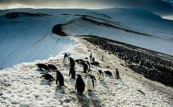 Chinstrap Penguin (Pygoscelis antarcticus) at Bailey Head in Anarctica