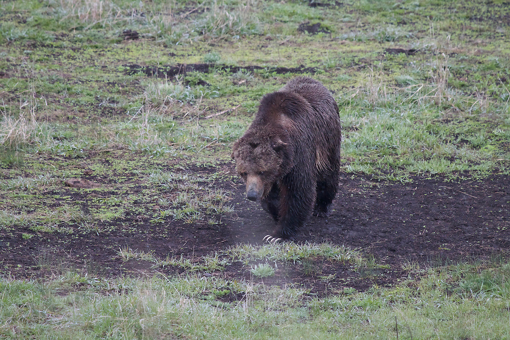 Yellowstone Grizzly Bear, Lamar Valley