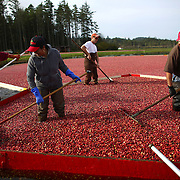 From left, Juan Hernandez, Guillemina Hernandez, Randy Evans and Daniel Lopez gather floating cranberries during the the October 11, 2013 harvest at Cran Mac farm in Ilwaco, on the Washington coast. October and November are the typical harvest months for cranberries in our state. Washington is one of the top producers of the cranberry crop. The berries grow on a small bush and the bogs where they grow are flooded and agitated with a machine, which caused the berries to float to the top for harvest. Owners Ardell and Malcolm McPhall have worked the farm since 1982. (Joshua Trujillo, seattlepi.com)