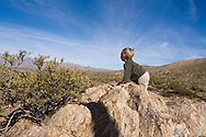 3 year old boy climbing rocks in the Sonoran Desert, enjoying the view from the top of the mountain, Arizona (MR)