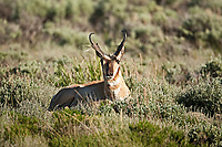 A male Antelope rests in sage brush in western Wyoming.