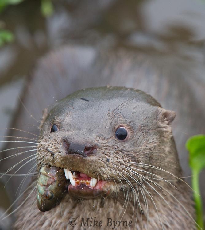 Neotropical River Otter (Lontra longicaudis) feeding in a Pantanal pond near Araras Eco Lodge (Pantanal, Mato Grosso, Brazil)