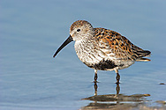 Dunlin - Calidris alpina - Adult in Summer Plumage.  (L 17-21cm) is the yardstick by which all other small waders should be judged. Get to know it in all its different plumages and you will have overcome the biggest hurdle in identification of other similar species. Several different races, with differing bill lengths, occur here outside the breeding season. Forms large flocks in winter. Summer adult has reddish brown back and cap, and whitish underparts with bold black belly and streaking on neck. Male is usually more boldly marked than female. Winter adult has uniform grey upperparts and white underparts. Juvenile has reddish brown and black feathers on the back; pale feather margins align to form 'V' patterns. Underparts are whitish but with black streak-like spots on the flanks and breast; head and neck are brown and streaked. Voice Utters a preeit call; breeding 'song' comprises a series of whistling calls. Status Local breeding species on damp moorland and mountain habitats. Locally abundant outside breeding season due to migrants from Arctic.