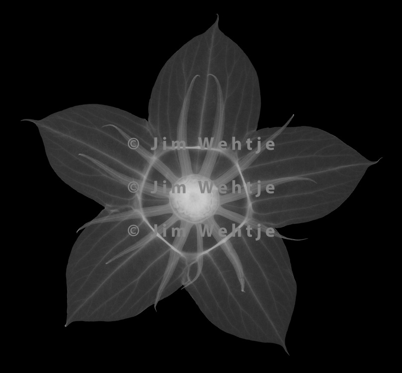 X Ray Image Of A Midnight Marvel Hibiscus Flower Calyx Hibiscus