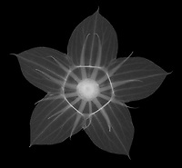 X-ray image of a midnight marvel hibiscus flower calyx (Hibiscus 'Midnight Marvel', white on black) by Jim Wehtje, specialist in x-ray art and design images.
