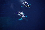 Humpback whales, Hawaii<br />