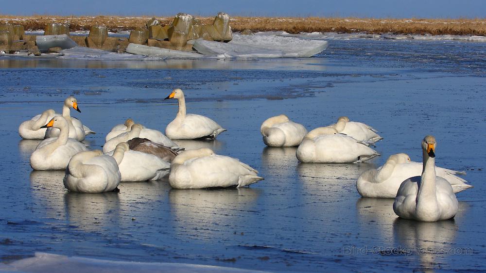 Whooper Swan, Cygnus cygnus, on ice, Japan, by Glen Valentine