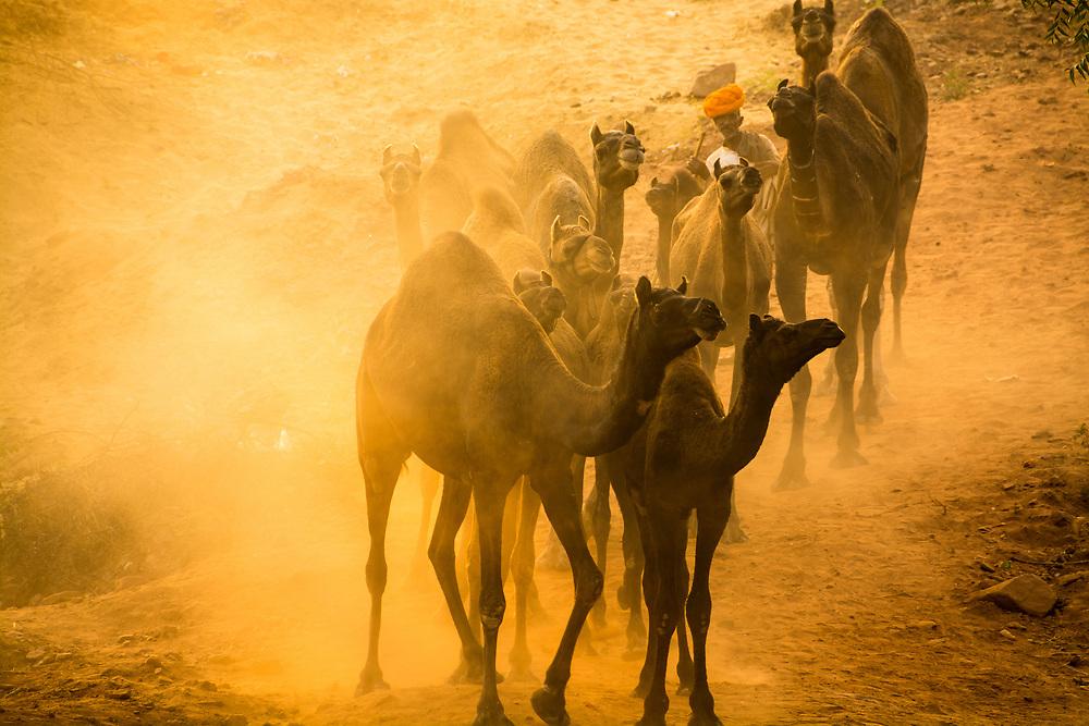 Camel caravan heading to the camel fair fields