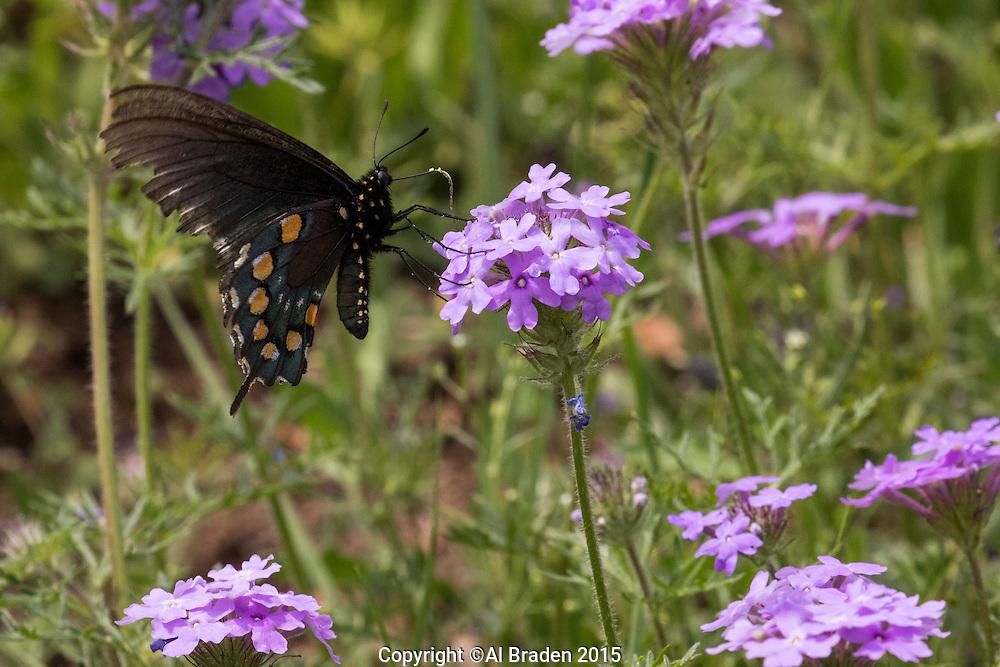 Prairie Verbena (Verbena bipinnatifida),  Burnet County, Texas