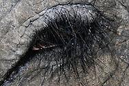 DEU, Deutschland: Asiatischer Elefant (Elephas maximus), Augentyp: Linsenauge; das Auge ist umsaeumt von langen, starken und nach unten gerichteten Wimpern, Krefeld, Nordrhein-Westfalen | DEU, Germany: Asian Elephant (Elephas maximus), type of eye: lens eye; the eye is lined of long, strong and bend down lashes, Krefeld, North Rhine-Westphalia