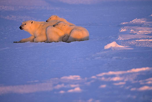 Polar Bear, (Ursus maritimus) Mother and cubs resting on frozen Churchill, Manitoba. Canada.