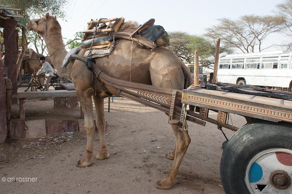 Camel towing a cart
