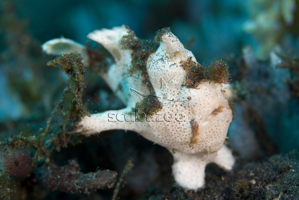 Painted Frogfish, Antennarius pictus, KBR, Lembeh Strait, Sulawesi, Indonesia.