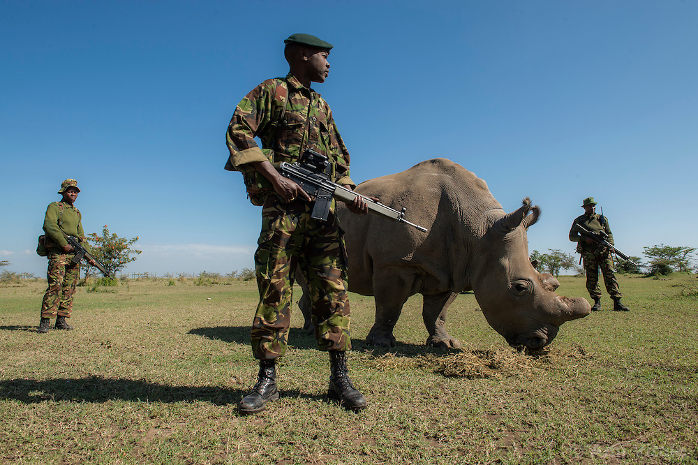 An anti-poaching team permanently guards a Northern White Rhino named Fatu on Ol Pejeta Conservancy in Kenya. The Ol Pejeta Conservancy is the largest sanctuary for black rhinos in East Africa and the home of the world's three remaining Northern White Rhino, the worlds most endangered animal.