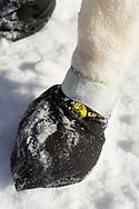 Hundarna i Mats Petterssons slädhundsteam har sockar på sig för att skydda fötterna, Anchorage, Alaska, USA
