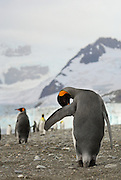 Preening king penguin in Royal Bay, South Georgia with the Glacier in the background.
