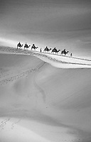 camels traverse the sand dunes near Dunhuang, China