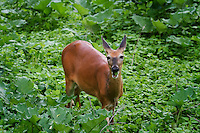 I think we need to teach this white-tailed doe that you should chew with your mouth closed. Lol