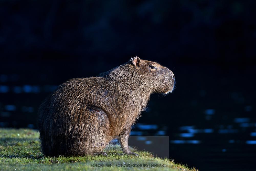 A female capybara (Hydrochoerus hydrochaeris) in the Pantanal, Mato Grosso do Sul, Brazil