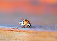A friendly little ladybug crawling towards me