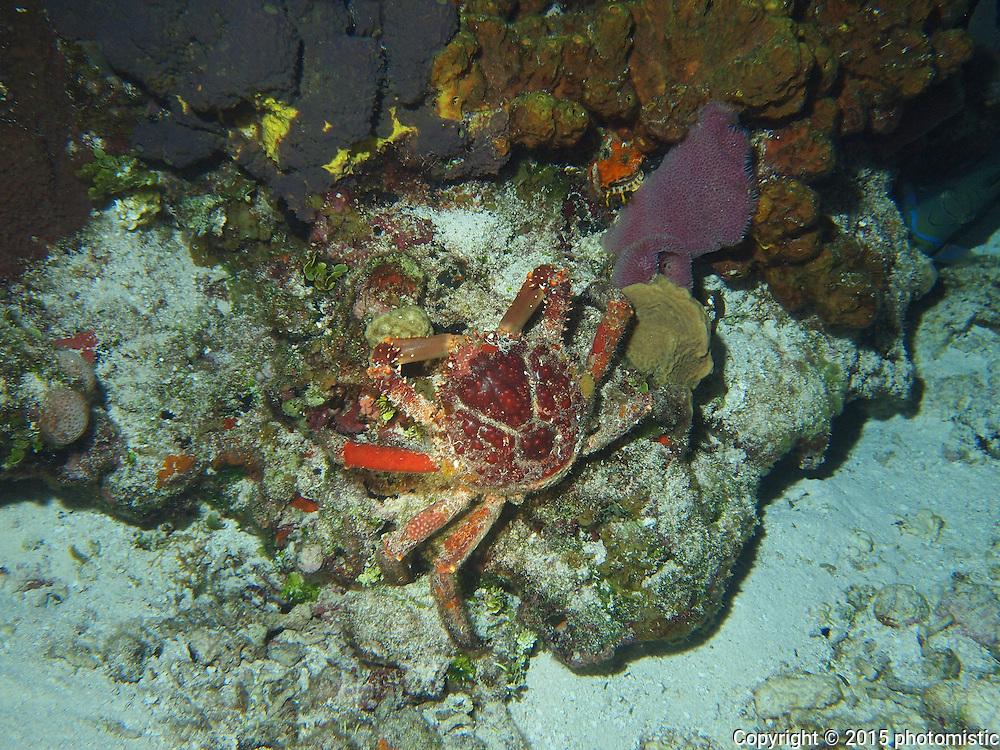 big ass crab