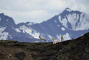 Dall Sheep, Sheep, Female Sheep, Ewe and Lamb, ewe, lamb, Denali National Park, Alaska