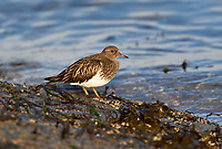 Red Knot (Calidris canutus), Gabriola, British Columbia, Canada   Photo: Peter Llewellyn