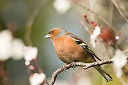 Chaffinch, Southland, New Zealand