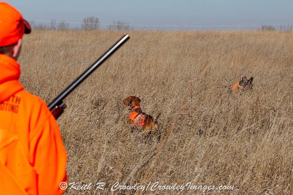 Hunting pheasants with a Vizsla in southrn Minnesota.