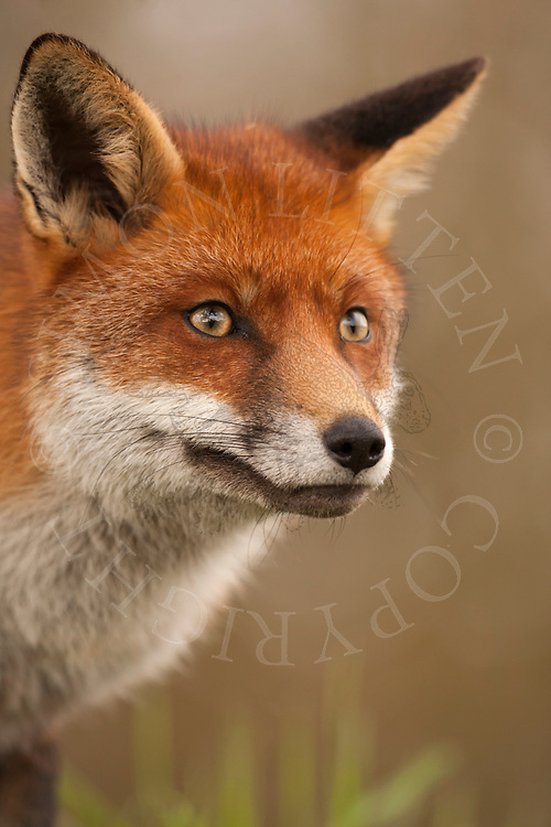 European red fox (Vulpes vulpes) captive bred adult, UK.