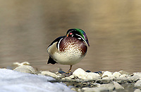 Wood Duck (Aix sponsa) on ice, Inglewood bird Sanctuary, Calgary, Alberta, Canada   Photo: Peter Llewellyn