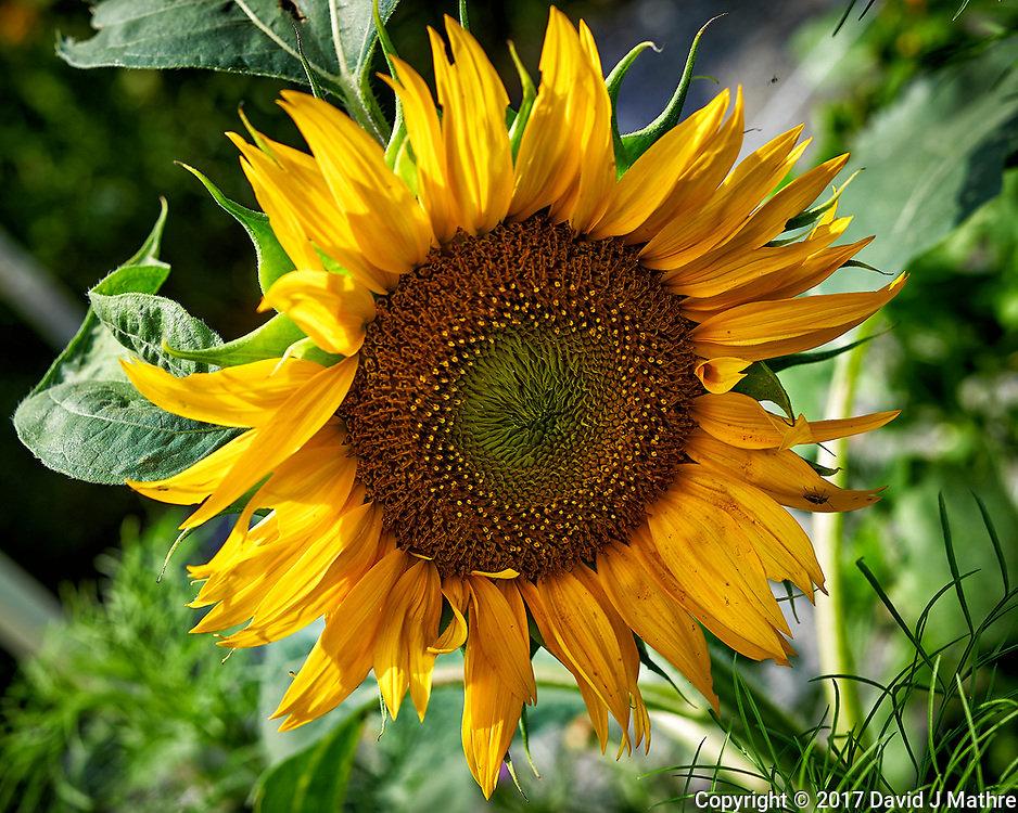 First Sunflower Bloom. Backyard summer nature in New Jersey. Image taken with a Nikon Df camera and 60 mm f/2.8 macro lens (ISO 100, 60 mm, f/6.3, 1/250 sec).