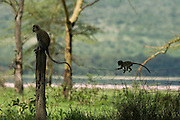 Velvet monkeys on fence, Lake Nakuru National Park, Kenya.