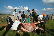 .Instead of the rehearsal the young warriors are busy slaughtering a cow for the feast following the battle. South Africa. Kwa Zulu Natal. Zululand. Isandlwana..©Zute Lightfoot