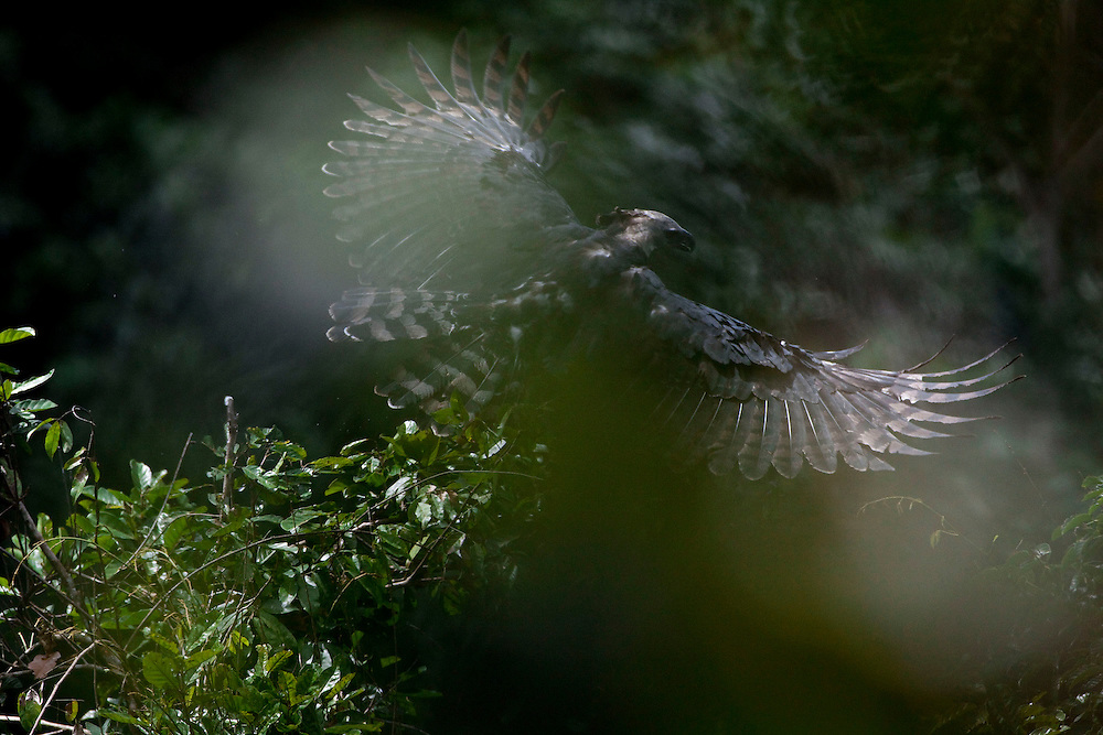 Parauapebas, Para - Brazil...May 2009...The name Harpia harpyja refers to Greek mythology. It designated a hybrid being: half woman, half eagle..Photo: Joao Marcos Rosa / Nitro