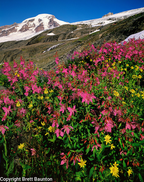 Mt. Baker, WA, USA..Mt. Baker Wilderness Area..Coleman and Roosevelt Glaciers..Waterfalls pouring down Heliotrope ridge..Dwarf Fireweed and Arnica Wildflowers..Brett Baunton.