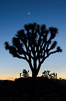 Crescent moon and Silhouette of Joshua Tree (Yucca brevifolia), Joshua Tree National Park