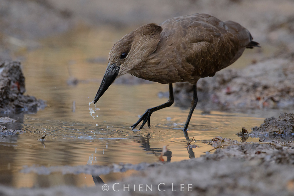A Hamerkop (Scopus umbretta) dips plant fibres in a muddy pool before adding them to its prodigious nest. Mpumalanga, South Africa.