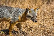 Island fox (Urocyon littoralis), Santa Cruz Island, Channel Islands National Park, California USA