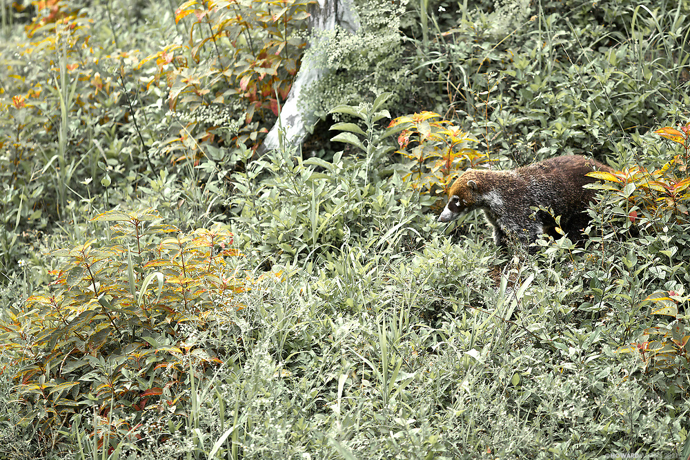 White-nosed Coati (Nasua narica) searching the hillside for Tarantulas. Tikal, Guatemala
