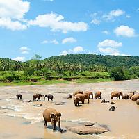 Elephants from a sanctuary, Sri Lanka