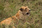 Alert Lioness (Panthera leo) waiting in the grass. Photographed at Serengeti National Park, Tanzania