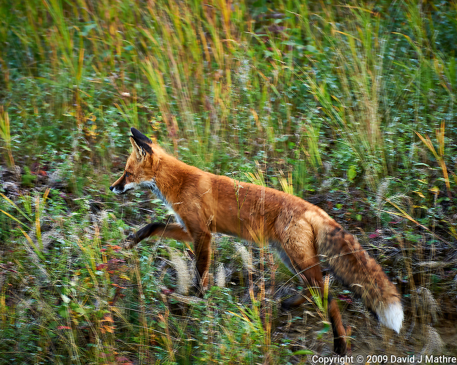 Red Fox hunting alongside the Alaska-Canada Highway. Image taken with a Nikon D700 camera and 70-300 mm f/4 lens (ISO 200, 300 mm, f/5.6, 1/50 sec).