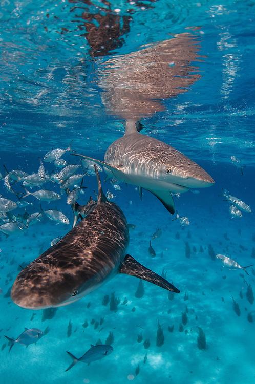 Caribbean reef sharks near the surface in the Bahamas.