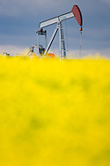 © 2008 Randy Vanderveen, all rights reserved.Grande Prairie, Alberta.A pumpjack is surrounded by a blooming canola field. Canola and other food crops are being diverted to biofuel programs.